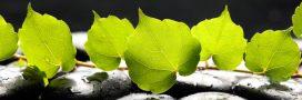 Beauté au naturel: 6 astuces avec du lierre grimpant