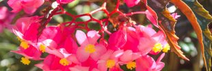 En mars : bouturer le Bégonia maculata