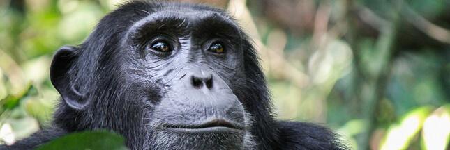 Pourquoi le déclin de la transmission culturelle est un risque de plus pour les chimpanzés ?