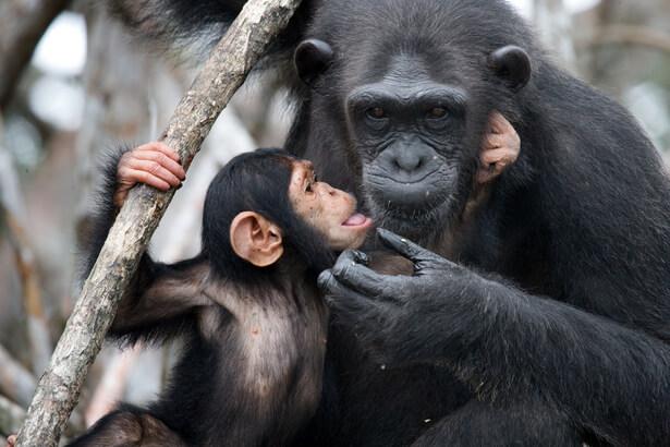 transmission culturelle chimpanzés