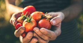 Association de culture: bonnes et mauvaises fréquentations de la tomate