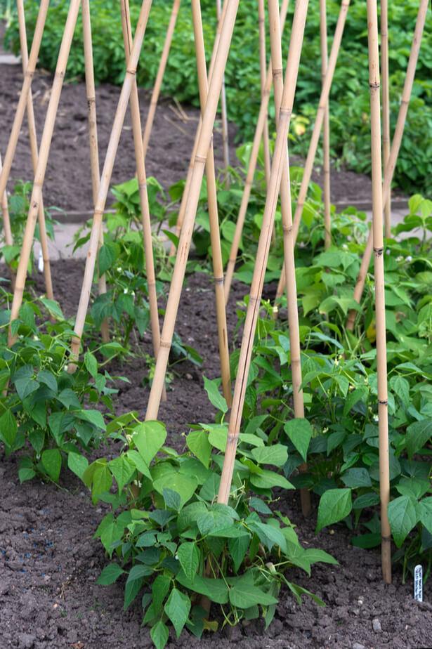 semis haricots