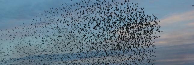 [1er avril]Déréglés par un pesticide, 450.000 passereaux s'abattent sur les cultures