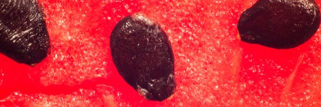 Comment faire germer un pépin de pastèque