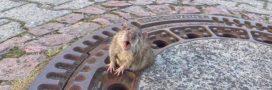 Ce que le sauvetage d'un rat coincé dans une bouche d'égout peut nous apprendre sur notre rapport aux animaux