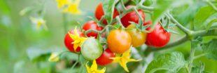 Comment réussir ses semis de tomates année après année