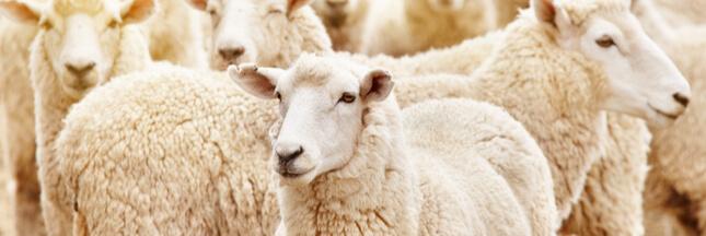 Europe : pas de  label « bio » pour l'abattage rituel