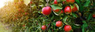 Comment faire germer un pépin de pomme
