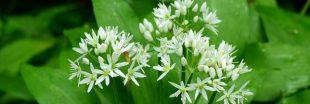L'Ail des ours : une plante condiment à découvrir