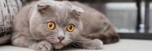 Certaines races de chats sont désormais interdites à Bruxelles !