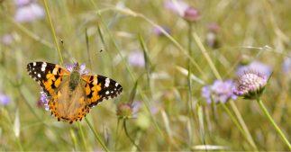 papillons pollinisateurs