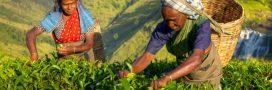 Sri Lanka: Des plantations de thé pas si équitables