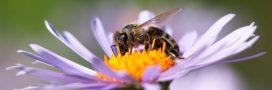Sondage – Allez-vous aider abeilles et pollinisateurs cette année?
