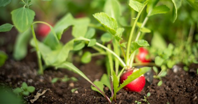 semer des radis