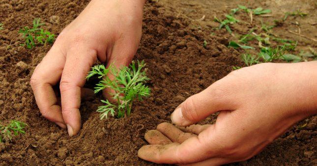 Comment réussir ses semis de carottes année après année