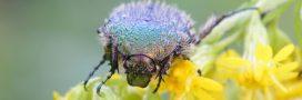 Nos formidables alliés en lutte biologique – La Cétoine dorée