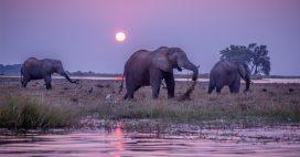 Chasse aux éléphants – Le Botswana persiste et signe …