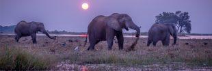 Chasse aux éléphants - Le Botswana persiste et signe ...