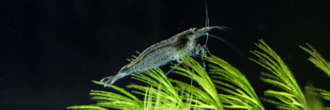 De la cocaïne retrouvée dans des crevettes d'eau douce
