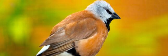 Australie: un projet de mine géante bloqué par un minuscule oiseau!
