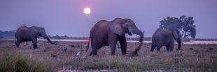 Consternant - Au Botswana, on va à nouveau pouvoir chasser des éléphants !