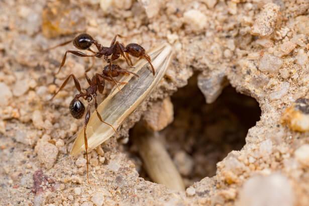 fourmis dans le potager
