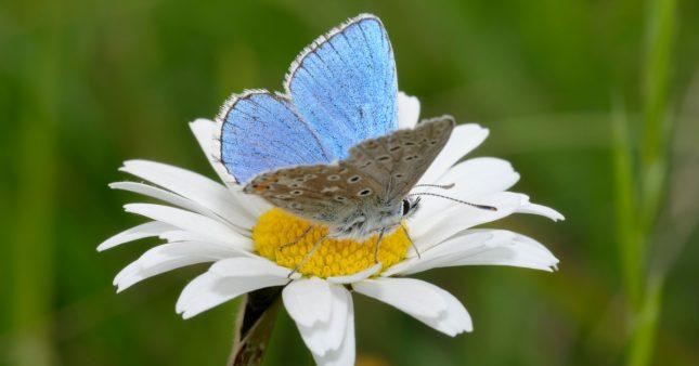Insectes pollinisateurs – Il n'y a pas que les abeilles domestiques!