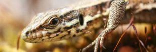 Nos formidables alliés en lutte biologique - Le Lézard des murailles