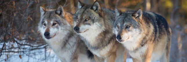 Vers davantage de tirs de loups ?