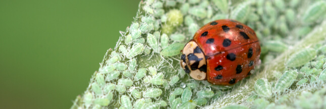 Lutte biologique: les insectes au service de la planète
