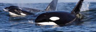 La Russie va relâcher des orques et des bélugas... mais loin de leur habitat d'origine