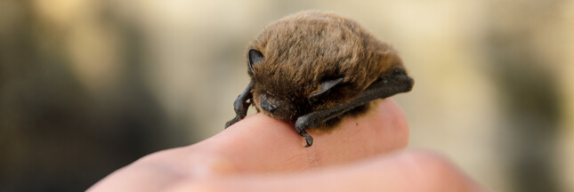 Nos formidables alliés en lutte biologique - La Chauve-souris