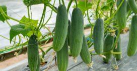 Comment réussir ses semis de concombres année après année