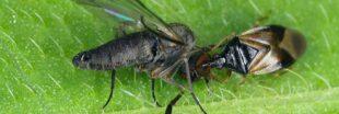 Nos formidables alliés en lutte biologique - Les Punaises prédatrices