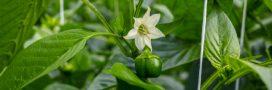 Association de culture: bonnes et mauvaises fréquentations du poivron