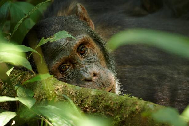 habitat chimpanzés