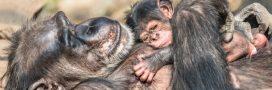 L'habitat des chimpanzés sauvages réduit à des 'ghettos forestiers'