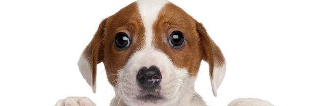 Comment les chiens nous manipulent avec leur regard!