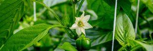 Association de culture : bonnes et mauvaises fréquentations du poivron
