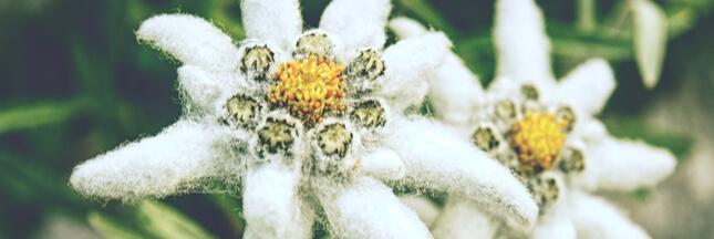 eldelweiss