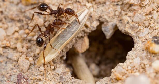 nid de fourmis potager