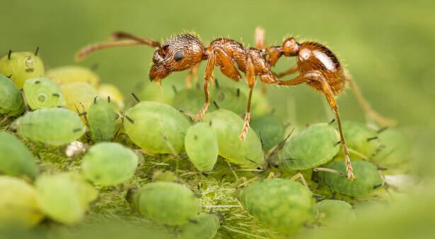 fourmi rouge