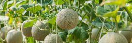 Comment faire germer un pépin de melon