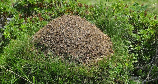 nid de fourmis
