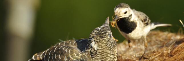 Le coucou gris: un étonnant parasite