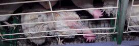 Souffrance animale: encore une vidéo choc dans un élevage de poules