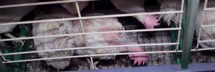 Souffrance animale : encore une vidéo choc dans un élevage de poules