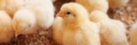 Allemagne: la justice refuse d'interdire le broyage de poussins mâles