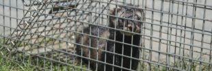 Chasse : dites non à la réautorisation du piégeage d'espèces protégées !