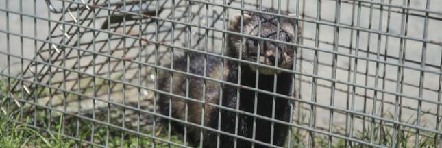 Chasse: dites non à la réautorisation du piégeage d'espèces protégées!